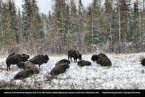 Winterbuffalo